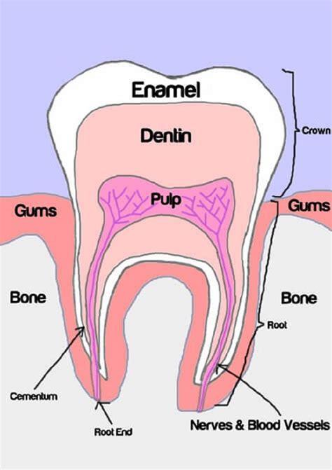 diagram human human teeth diagrams to print diagram site