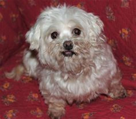 havanese rescue pa rodrigo in pa available for adoption from havanese rescue feb 2014 adoptable