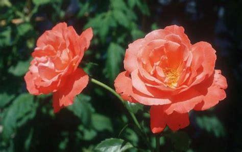 imagenes romanticas flores imagen de flores romanticas imagui
