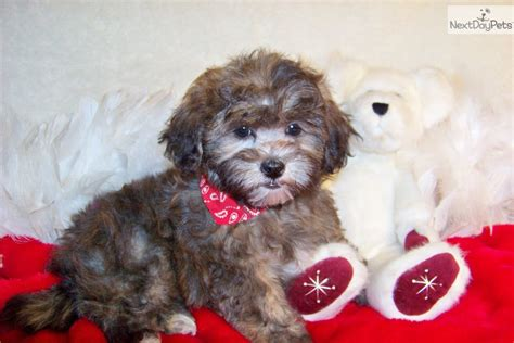 shih poo puppies for sale in missouri shih poo poo shi shih poo puppies breed info center