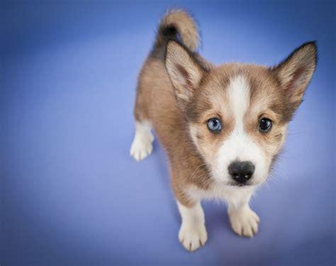fluffy little dog breeds