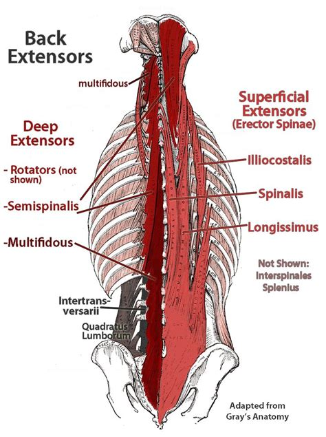diagram of back muscles best 25 lower back anatomy ideas on anatomy