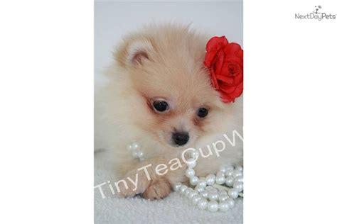 pocket pomeranian price pomeranian puppy for sale near arizona ebf1b87a 3331