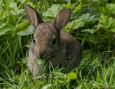 coniglio alimentazione scheda coniglio alimentazione follow the bunny
