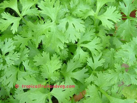 Ketumbar Pack tropicalfruitandveg seeds for sale