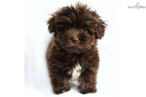 Havanese Puppy For Sale Cutie Adorable Akc Chocolate Havanese 9320583a 9a11
