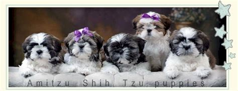 shih tzu newborn puppies shih tzu newborn puppies www pixshark images galleries with a bite