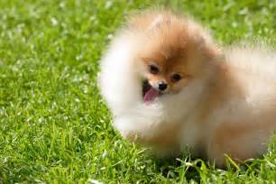 Types of pomeranian faces dog breeds picture click for details types