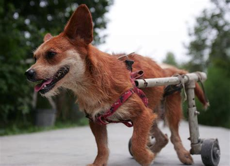 braces for dogs orthopedic support braces for dogs care the daily puppy