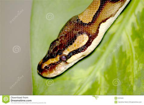 Royal Python Stock Photos Image 331643