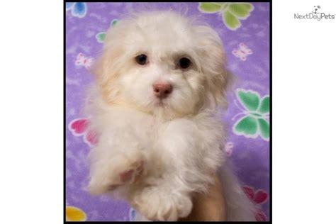 shih tzu puppies for sale in mcallen tx shih tzu puppy for sale near mcallen edinburg 4f9adb6d ec81