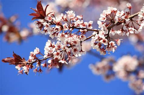 fiori di susino foto gratis primavera piante fiori di susino