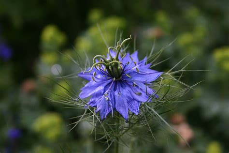 Indian Home Decoration Nigella Damascena Words And Herbs