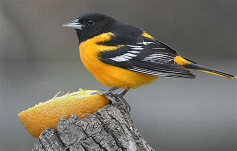birds baltimore oriole