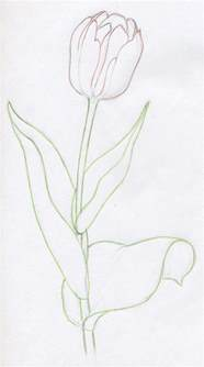 Outline Sketches Of Flowers by Draw Tulip Flowers In Few Easy Steps
