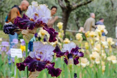 foto fiore iris iris in fiore a firenze nel giardino al piazzale