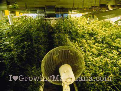 grow lights  indoor marijuana growing