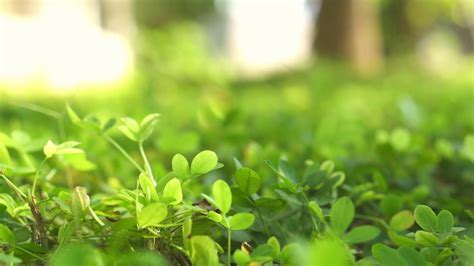 plant background soft focus on green clover covered plants background with