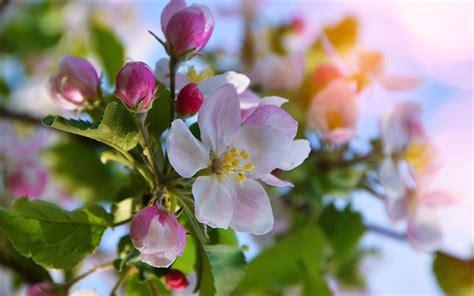 sfondi fiori di ciliegio oltre 25 fantastiche idee su fiori di ciliegio su