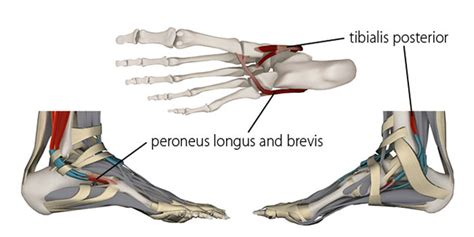 The Longitudinal Arches of The Feet in Yoga Foot Arch Muscles
