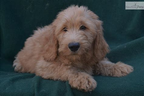 mini goldendoodles florida mini doodle florida goldendoodle puppy for sale near ta