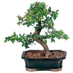 Japanese Indoor Garden - chinese elm bonsai care