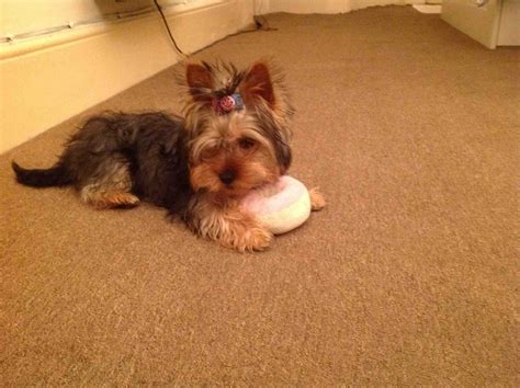 size of yorkie a lovely of size yorkie central pets4homes