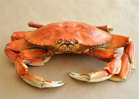 How To Boil Crab Legs by How To Cook And Clean A Dungeness Crab Former Chef