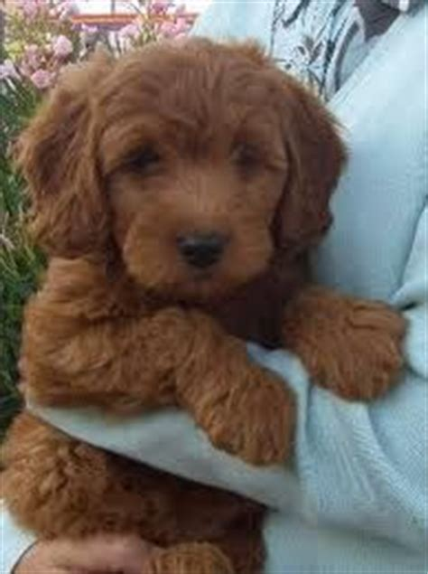golden retriever labradoodle puppies 1000 images about goldendoodle day on goldendoodle goldendoodles and