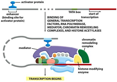 protein activation chapter 6 from dna to protein studyblue