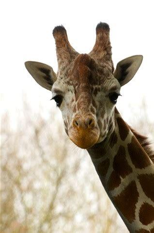 giraffe face: sugarbaker: galleries: digital photography