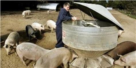 maiali alimentazione mangiatoia maiali maiali