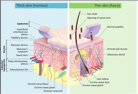 skin cells diagram the wonderfully made design of the skin and its microbiome