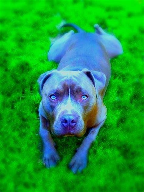 chagne color pitbull brutus my blue pitbull