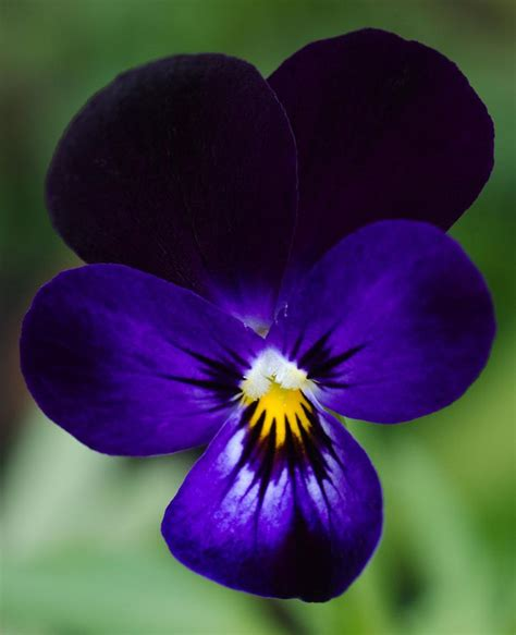 Garden Flowering Plants Garden Flowers Violas Such Dainty Winter Blooms Cox Garden Designs