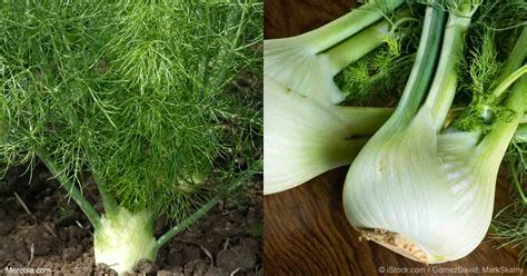 Grow Harvest  Enjoy Fennel  Home