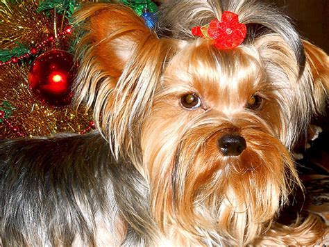 yorkie bark understand the reasons related with yorkie barking and stop it accordingly