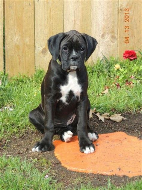 sealed boxer puppies for sale sealed brindle boxer puppies for sale pomsky picture breeds picture