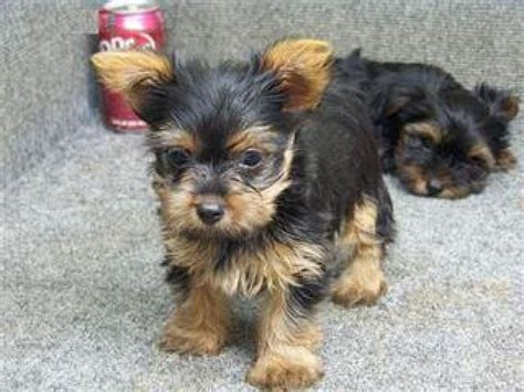 teacup terrier puppies for sale adorable teacup terrier puppies for sale rockhton buy and sell