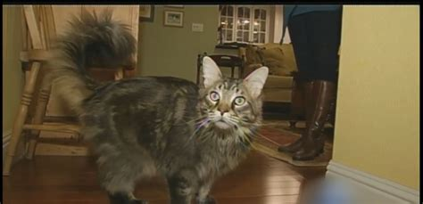 giant house cats giant 27 pound house cat named spock gets mistaken for bobcat abc news