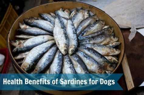 sardines for dogs the health benefits of sardines for dogs keep the wagging