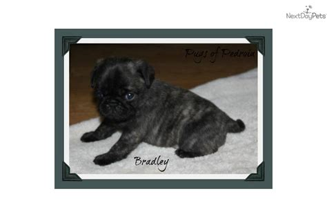 pugs for sale sacramento ca brindle boy puppy names breeds picture