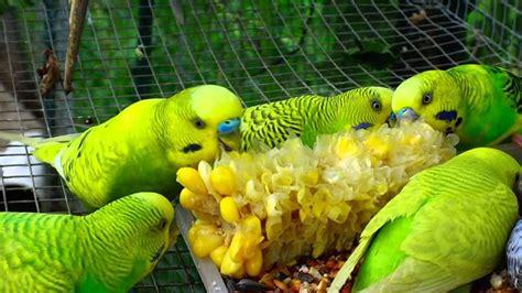 alimentazione cocorite allevamento cocorite pappagalli come allevare cocorite