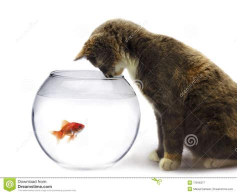 Cat Dreams Of Fish Birds Milk Pet Pet Pet Product by Cat With Fish Stock Photography Cartoondealer 13175024