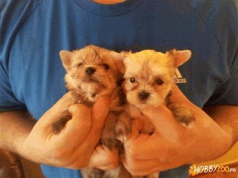 gold dust yorkie gold dust terrier hobby zoo ro