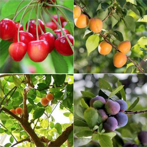 what of fruit grows on trees 8 fruit trees for your deck or balcony