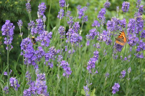 pianta con fiore viola foto gratis lavanda pianta fiore viola immagine