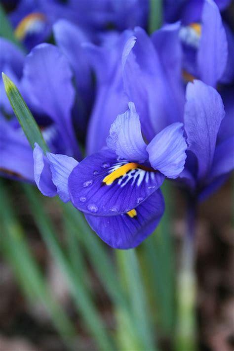 tennessee state flower iris state flower state symbols usa