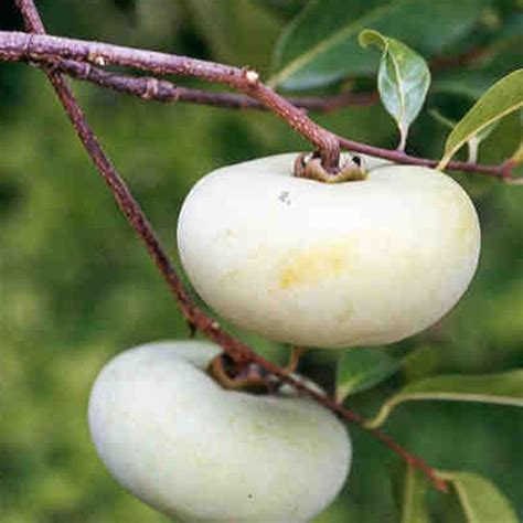 apple tree bandung 345 best tropical strange fruit seed pods images on