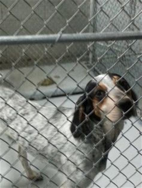 marion county pound adoptable bluetick coonhounds on animal shelter bluetick coonhound and